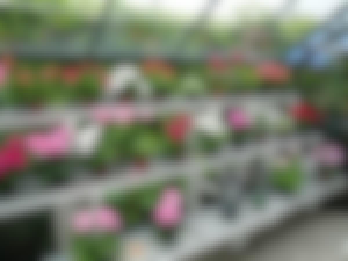 Pelargonier står på rad og rekke i flere etasjer. Dermed får alle plantene lys, og de er enkle å komme til.