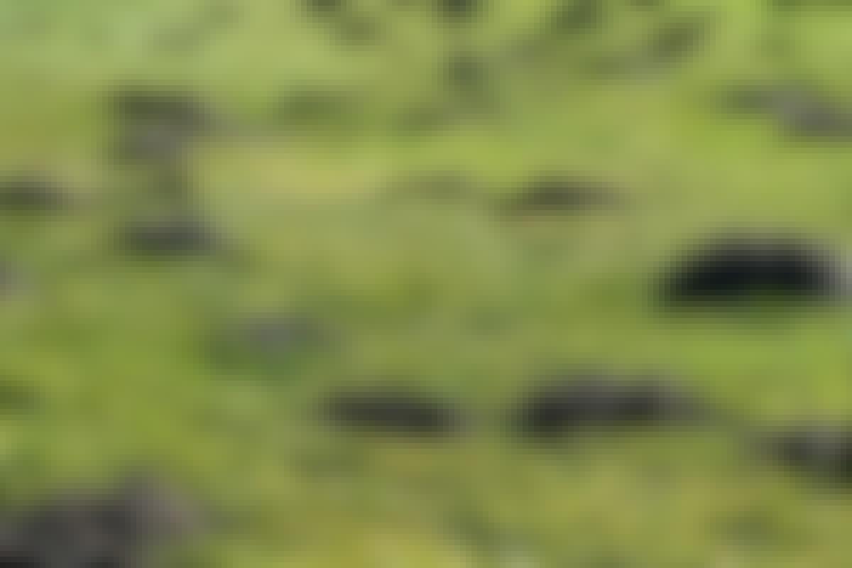 Jordhögar på gräsmattan kan driva villaägaren till vansinne.