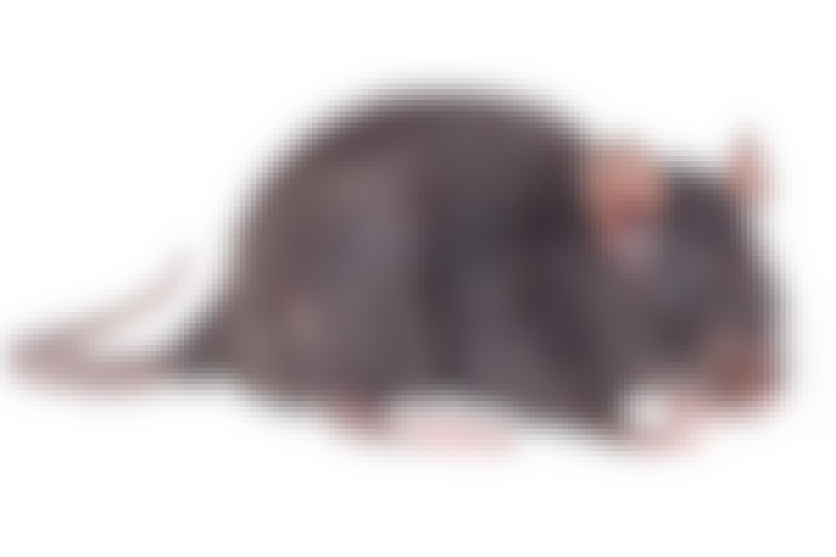 En vuxen råtta kan ta sig igenom ett hål på bara 2 cm. Det är ett hål stort som en enkrona.