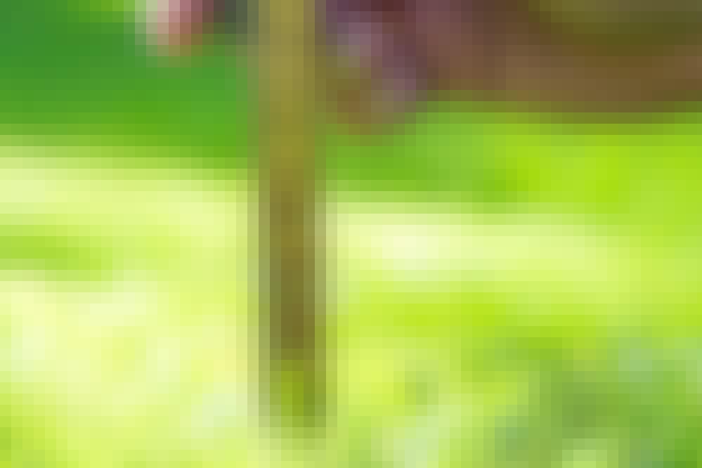 Gressplen - slik blir den grønn igjen