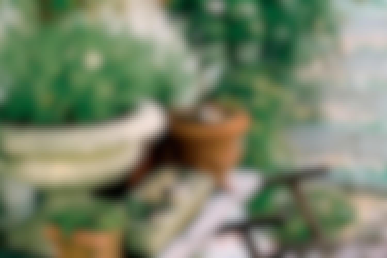 """Planter i uglaserede krukker trives godt, så længe de får vand og lys nok. Uglaseret ler minder nemlig om plantens naturlige vækstbetingelser, hvor rødderne står i kølig jord og kan """"ånde"""", og selve planten får sol, lys og varme."""