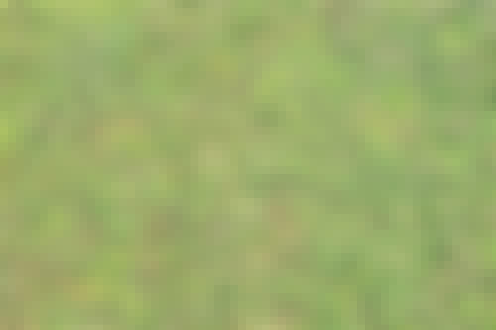Forskjellige typer planter: Grønne sedumplanter