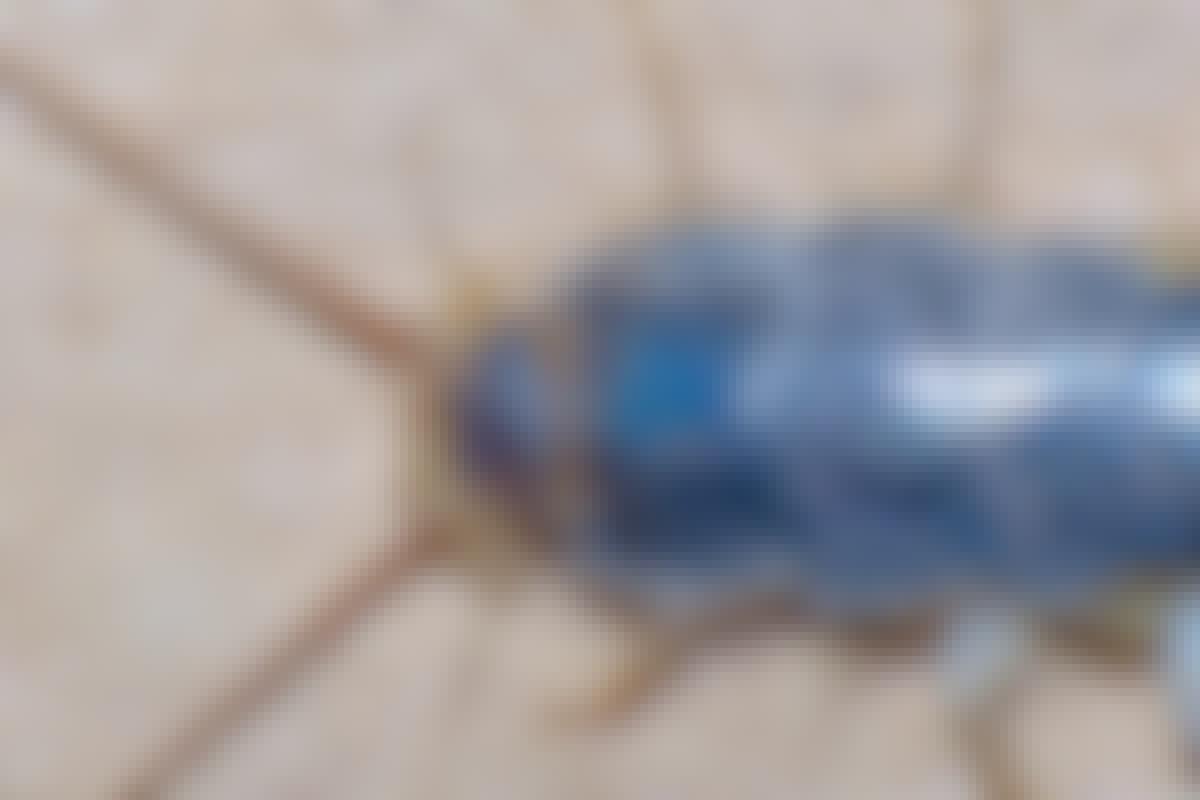 Den långsprötade silverfisken (Zygentoma; Lepismatidae - Ctenolepisma longicaudata) är bland de äldsta insekterna på jorden.