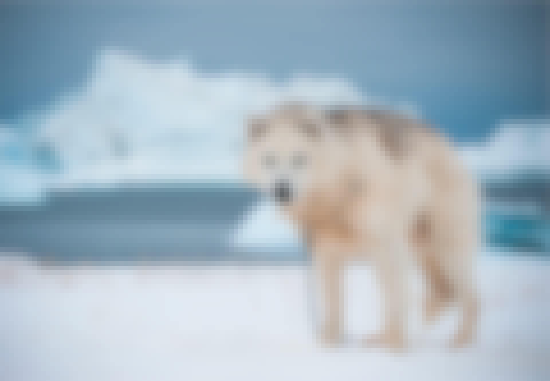 Slædehund, Grønland, oldgammel