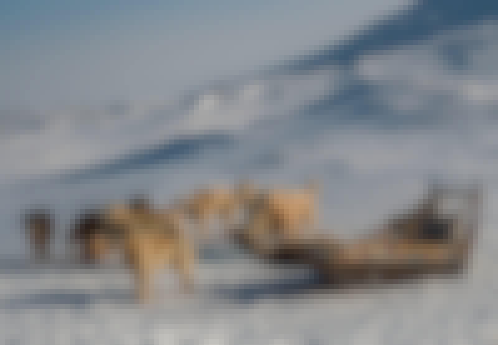 Slædehund, Grønland, rigtig slæde, oldgammel