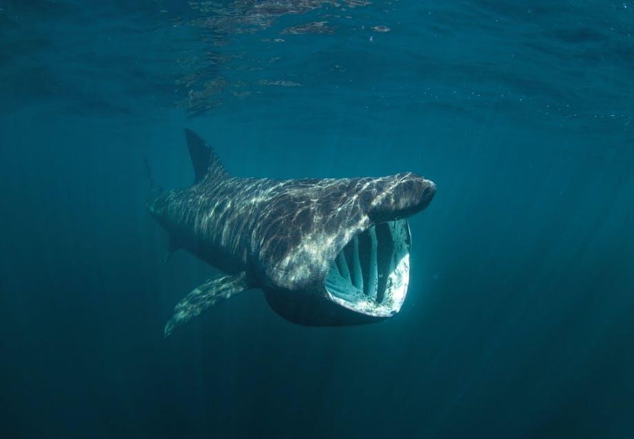 Hajer i Danmark - Brugde