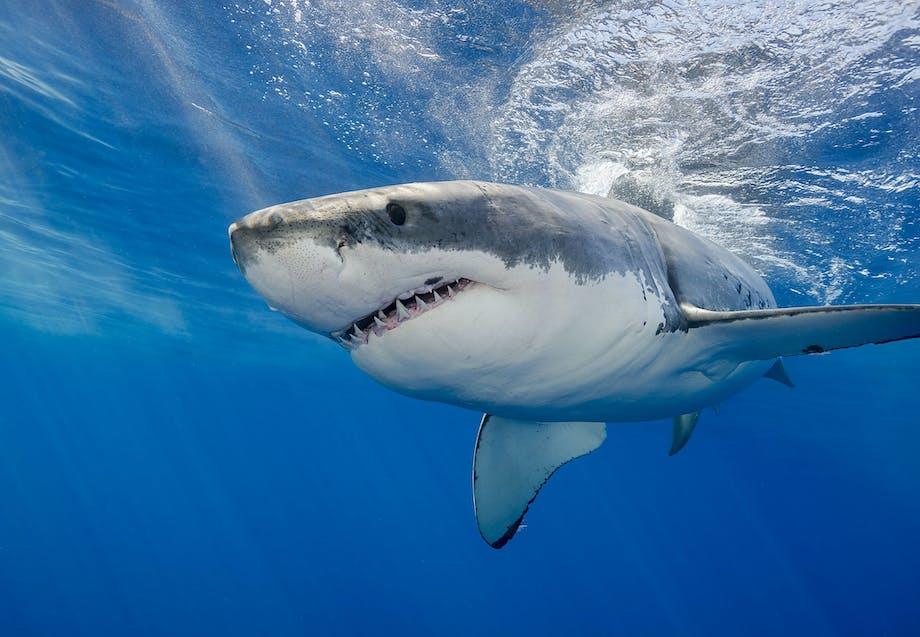Hajer i Danmark - Hvidhaj