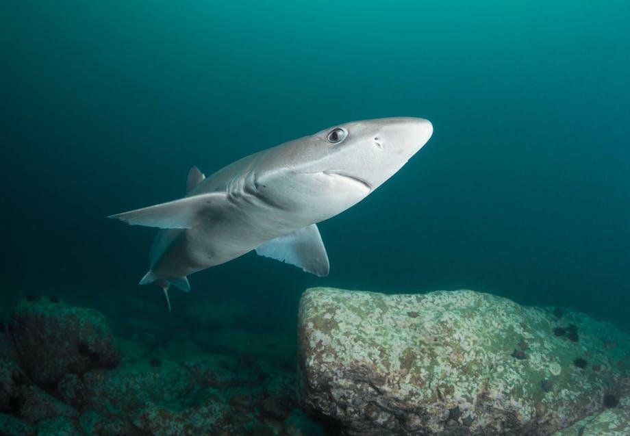 Hajer i Danmark - Pighaj