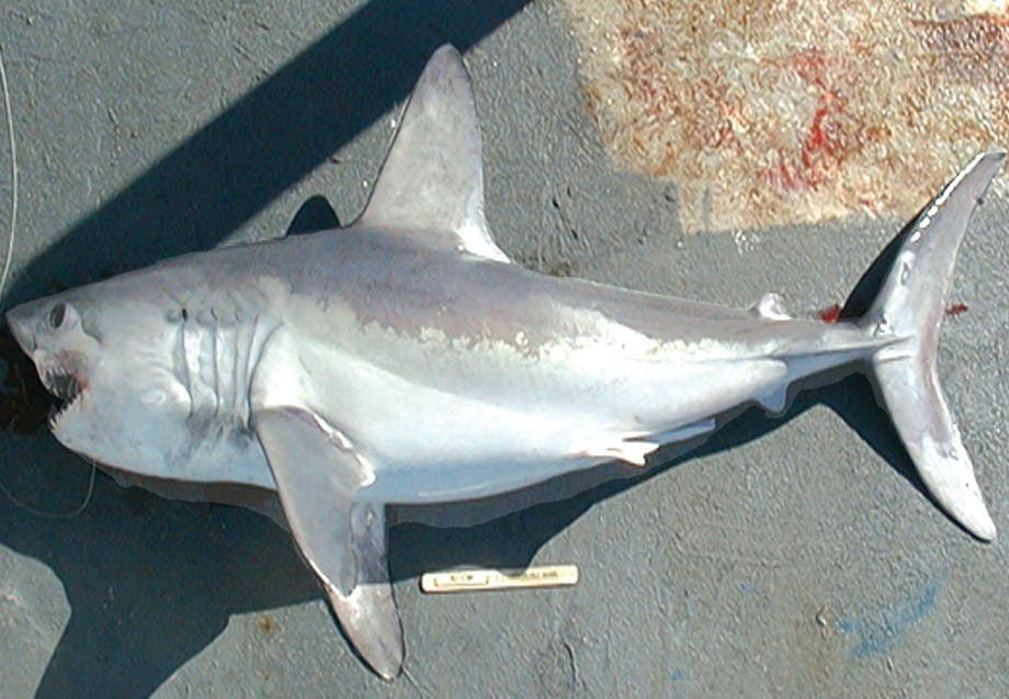 Hajer i Danmark - Sildehaj