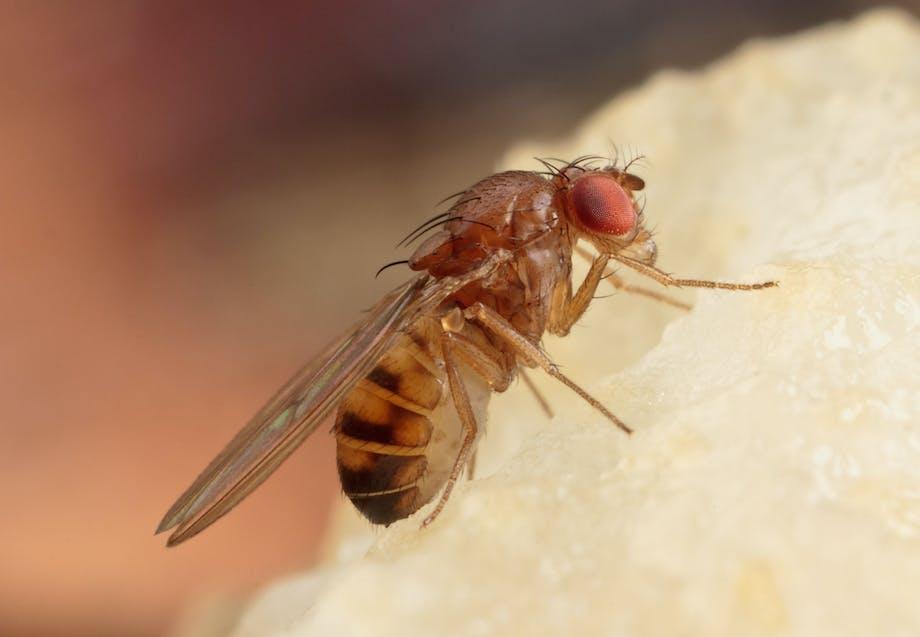 Waar komen fruitvliegjes vandaan?
