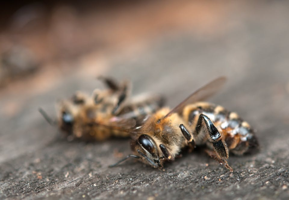 Biene dør