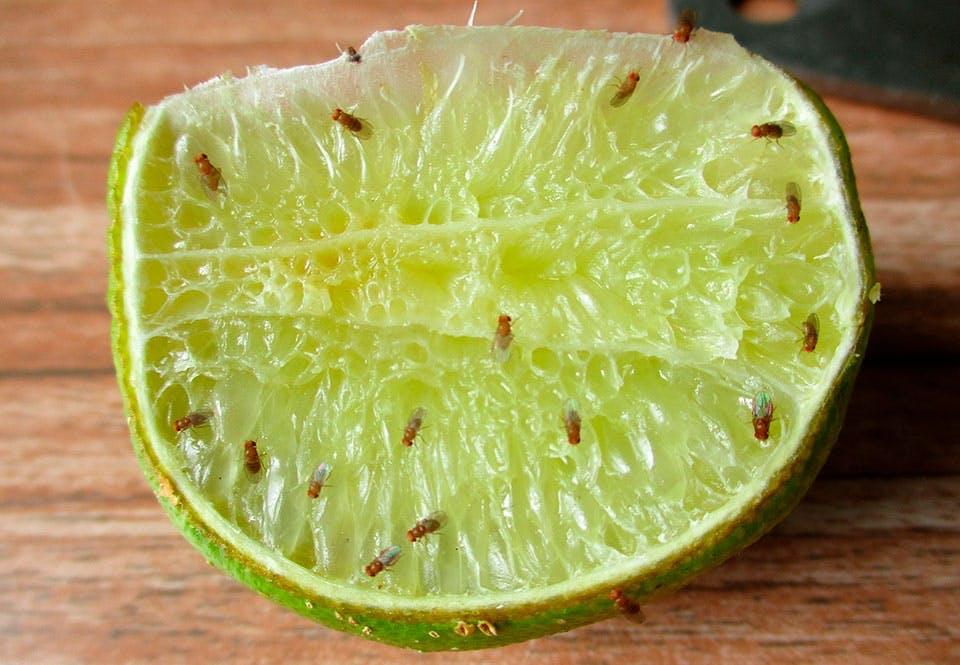 waar komen fruitvliegjes vandaan? | wibnet.nl