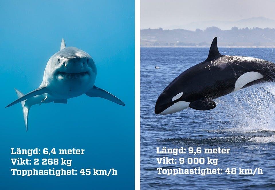 Haj vs späckhuggare