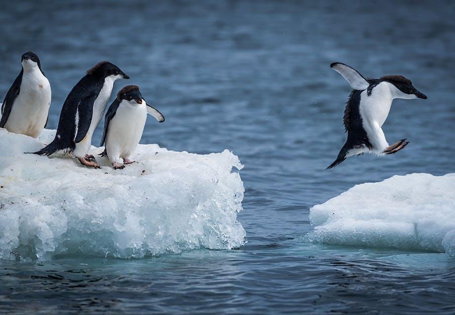 Jääpingviinejä