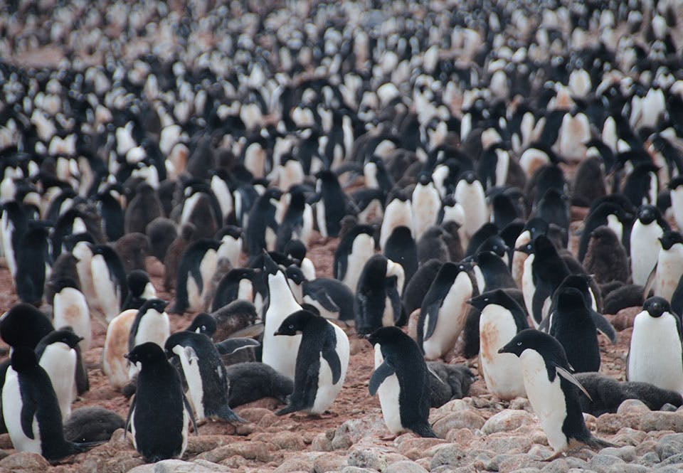 Jääpingviini