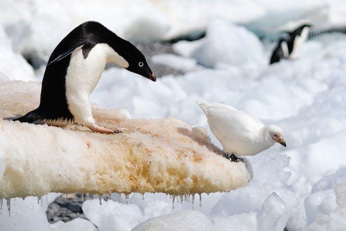 Zuidpoolkip
