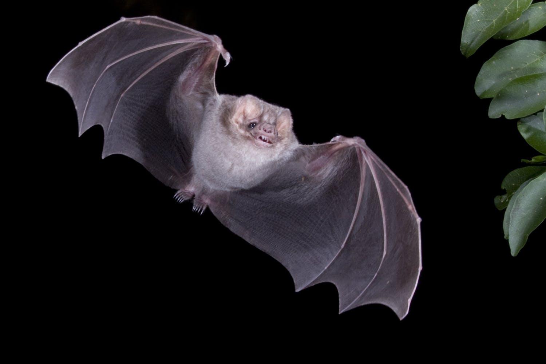 Hairy-legged Vampire Bat