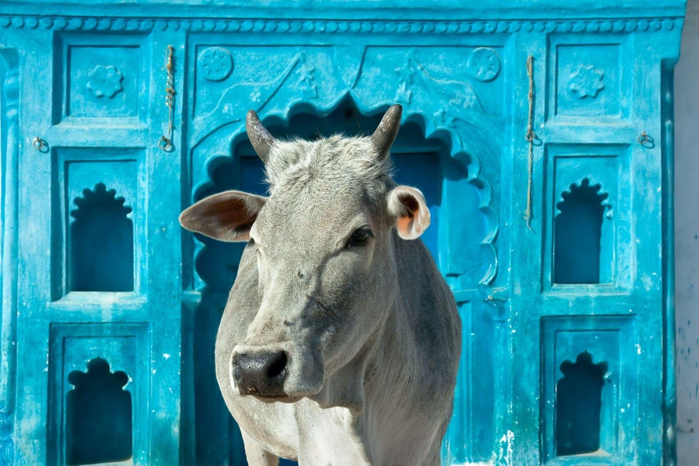 Varför är kon helig i Indien?