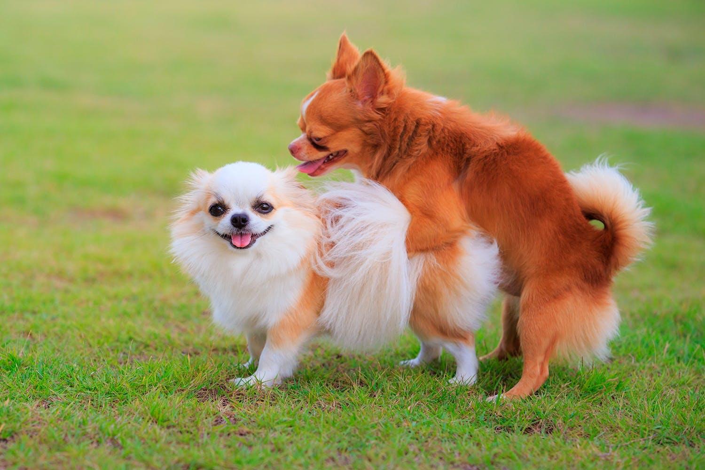 parring hunde