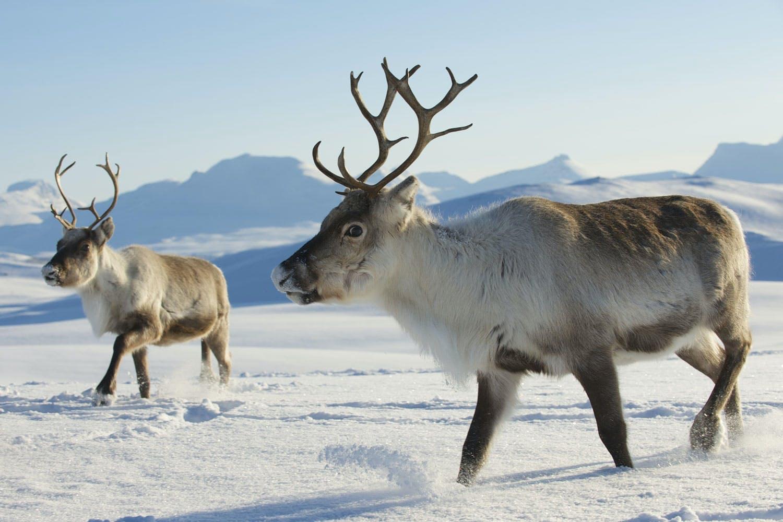Reindeer top