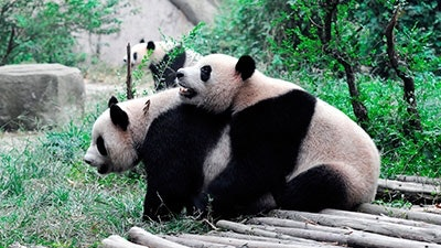 vad äter pandor