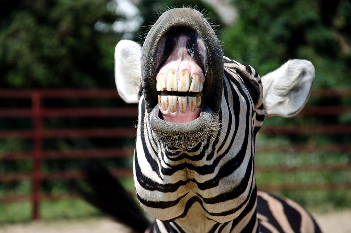 zebra tanden