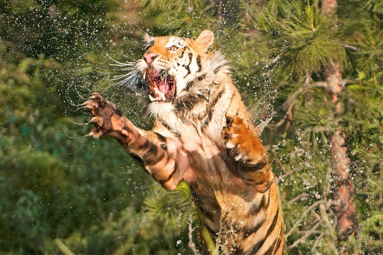 tijger topbillede