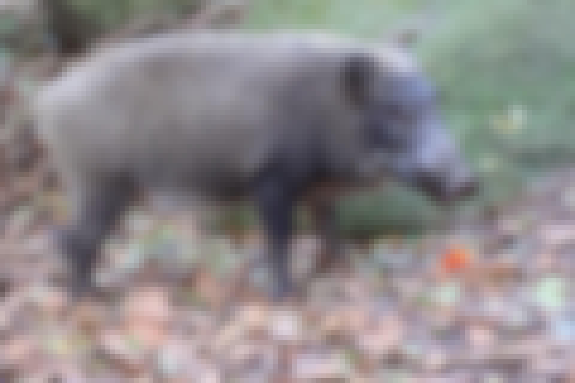 vildsvin fukushima TOP