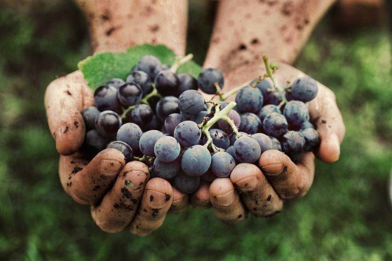 Miten siemenettömät viinirypäleet saadaan aikaan?