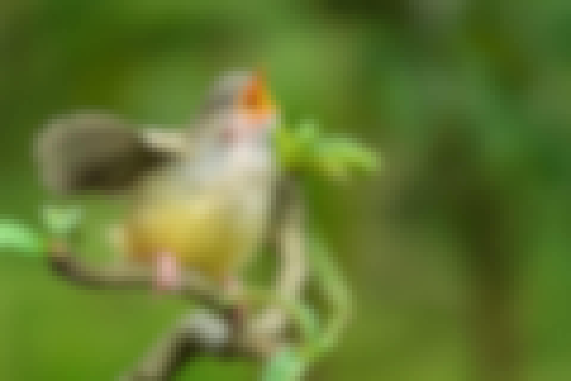 Miksi linnut laulavat keväisin?
