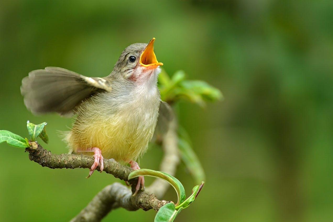 Waarom zingen vogels in de lente?