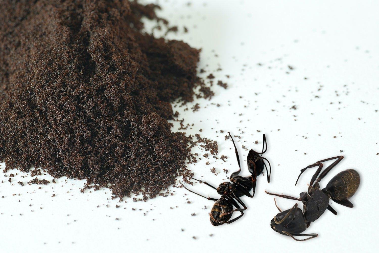 Voiko kahvinporoilla tappaa muurahaisia?