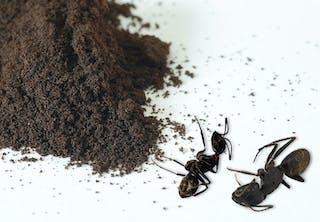 Kan kaffesump döda myror