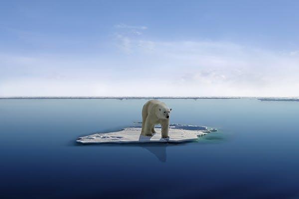 Isbjørn på isflager