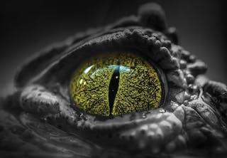 Krokodillepupil rovdyr