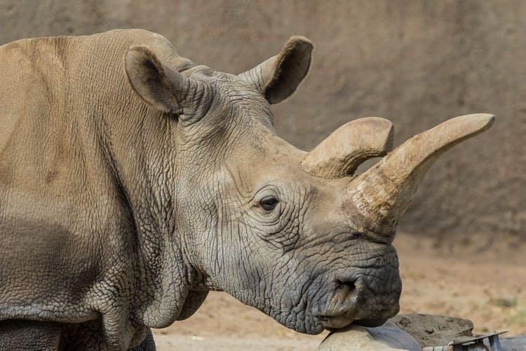 vita noshörningen Nola top