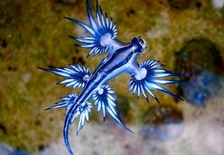 Blå drage1