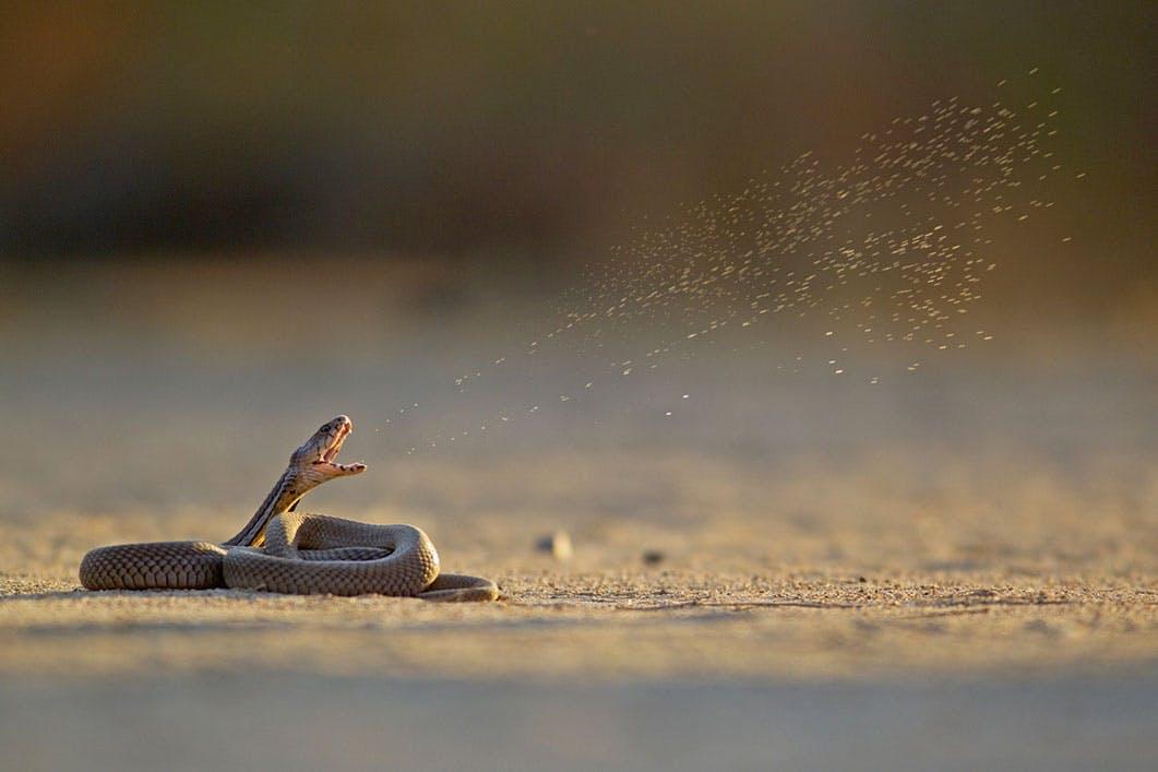 Kan en kobra spotta?