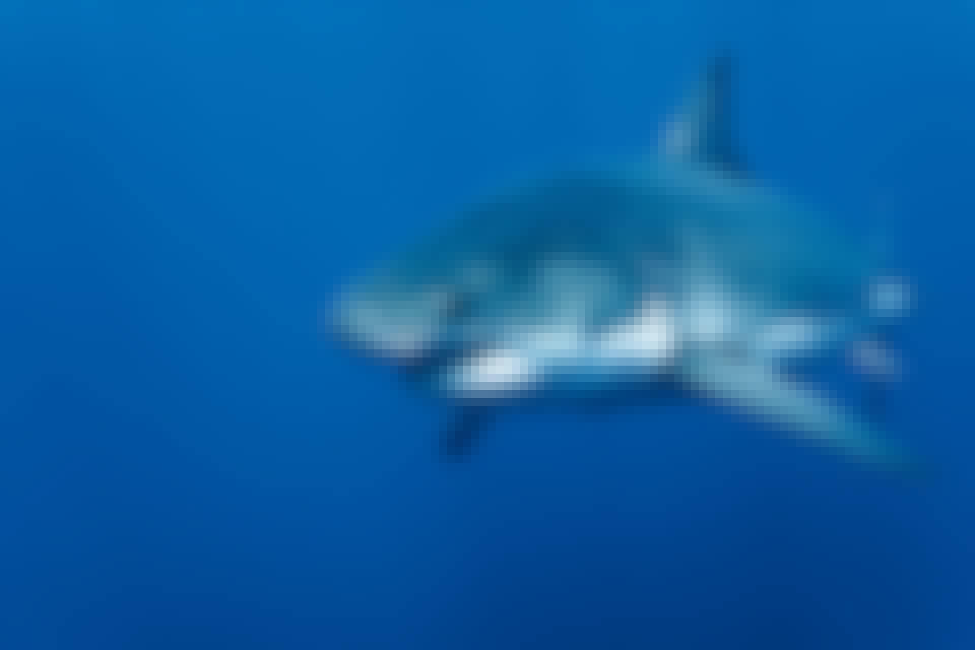Witte haai jaagt met de zon in de rug