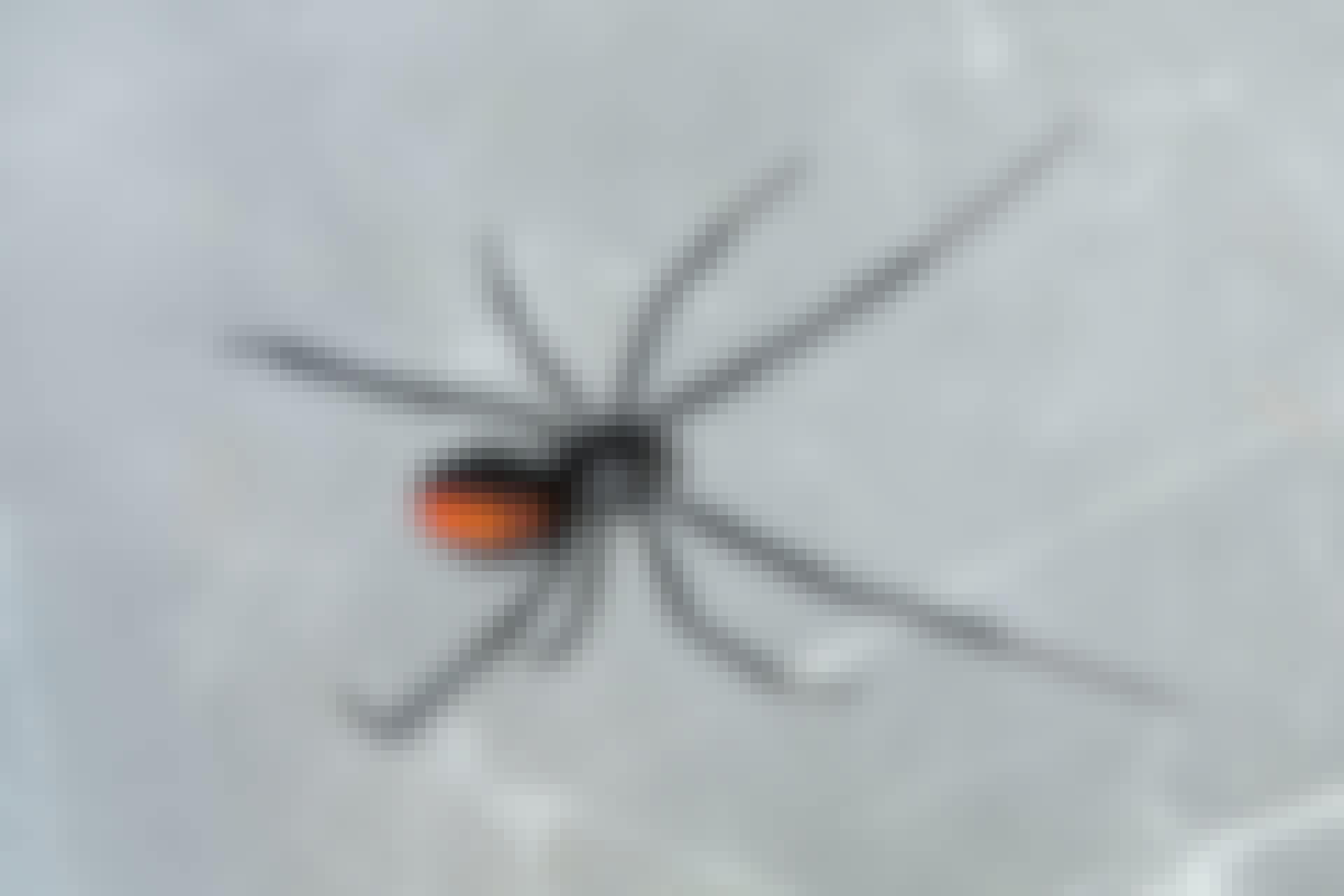 De zwarte weduwe