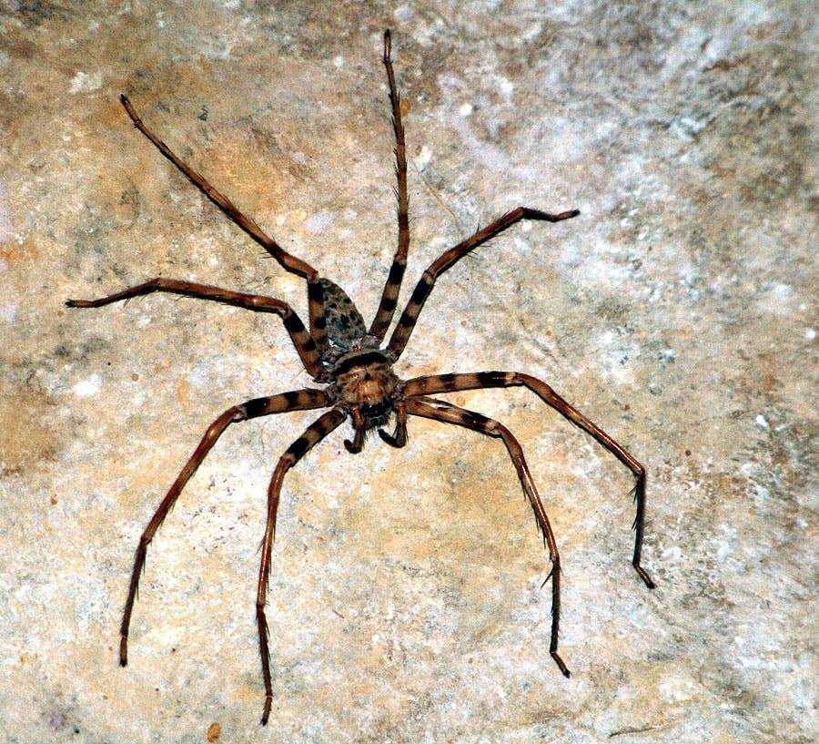 De grootste spin ter wereld