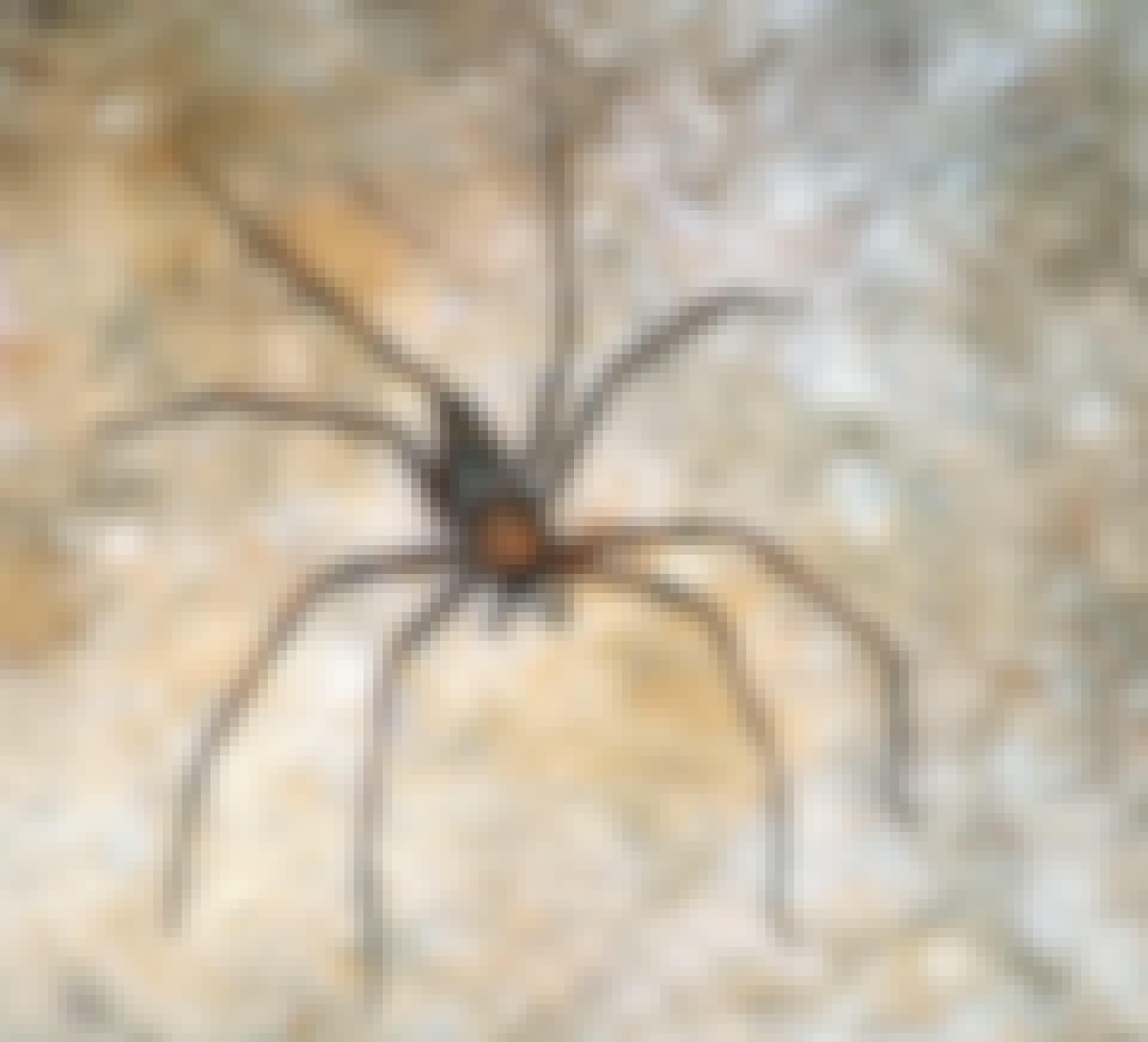Verdens største edderkop