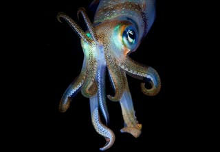 European squid