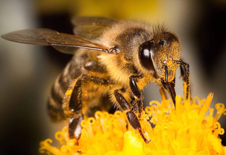 Bi suger honung från blomma