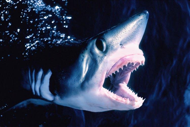 Haaien in de Noordzee, haringhaai