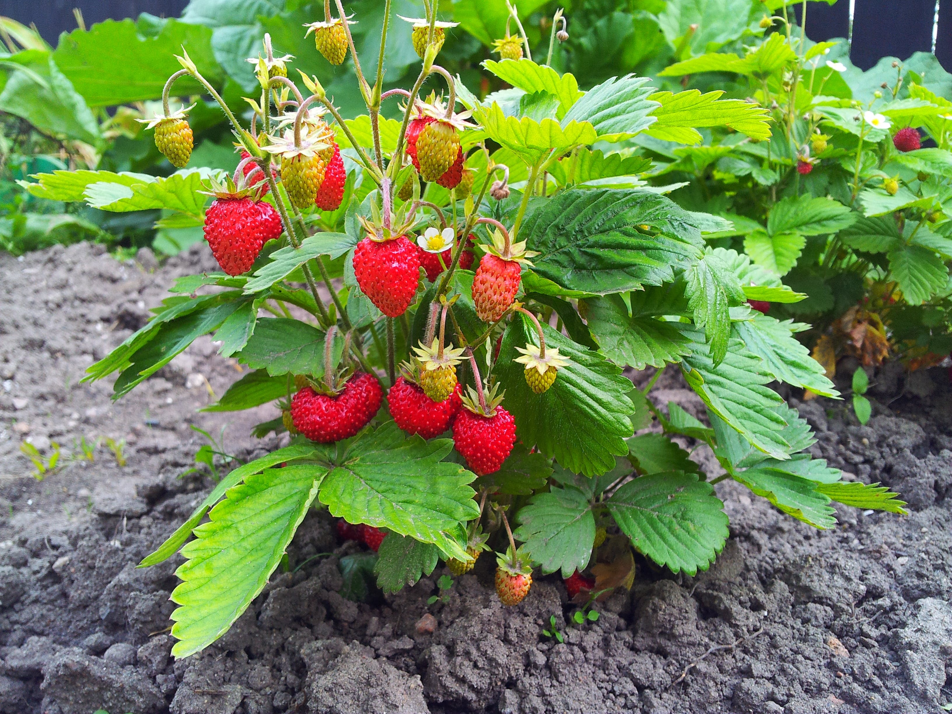 Bor Jordbær