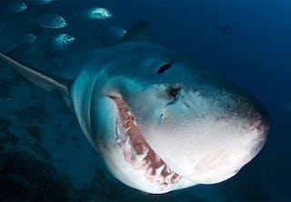 Haai jaagt met alle zintuigen