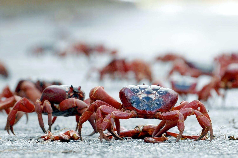 Krabbe fra juleøen