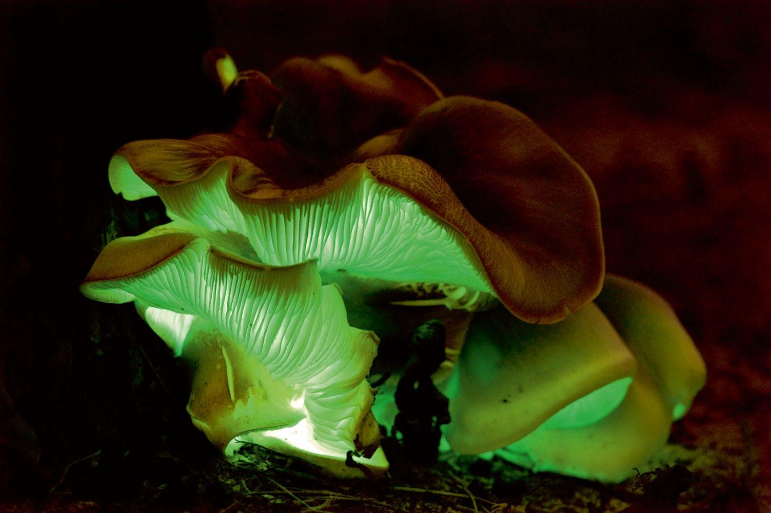 Selvlysende svampe 17/2014