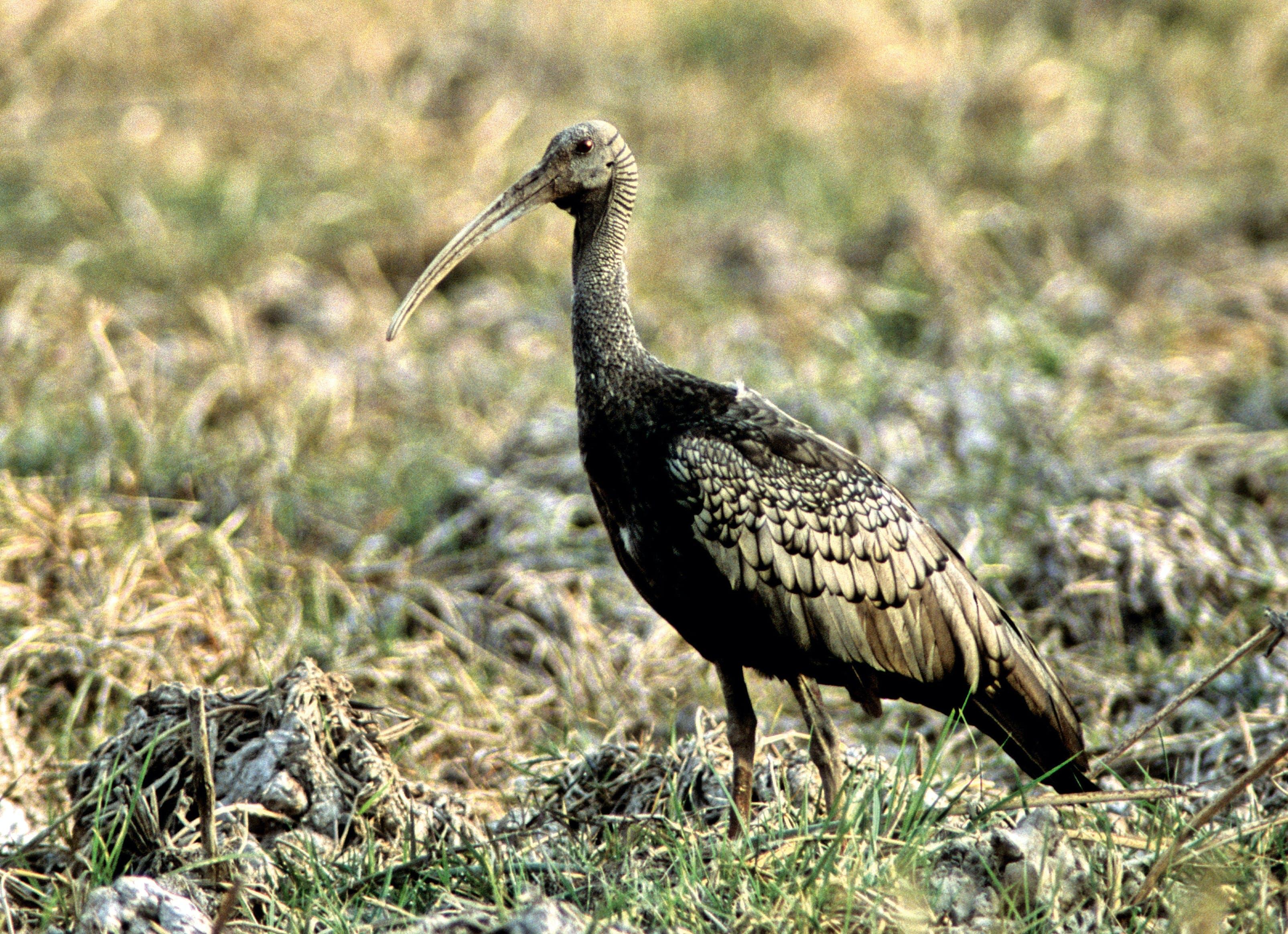 Giant ibis, truede fugl, natur